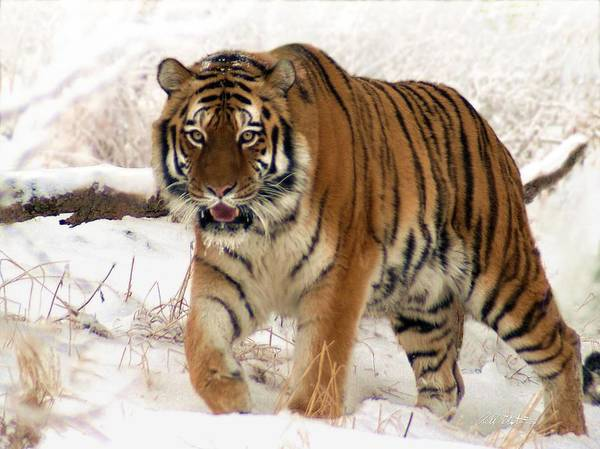 Tiger Art Print featuring the photograph Orange In Winter by Bill Stephens