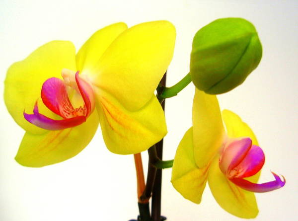 Pair Of Yellow Orchids Art Print featuring the photograph Pair Of Yellow Orchids by Beth Akerman
