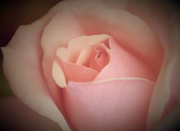 Rose Beauty Art Print featuring the photograph Rose Beauty by The Art Of Marilyn Ridoutt-Greene
