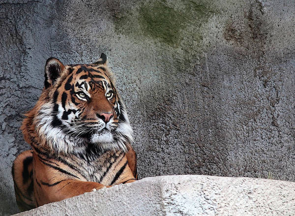 Tiger Art Print featuring the photograph Royality by Cherie Duran