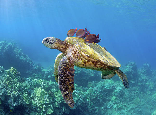 Horizontal Art Print featuring the photograph Sea Turtle Underwater by M.M. Sweet
