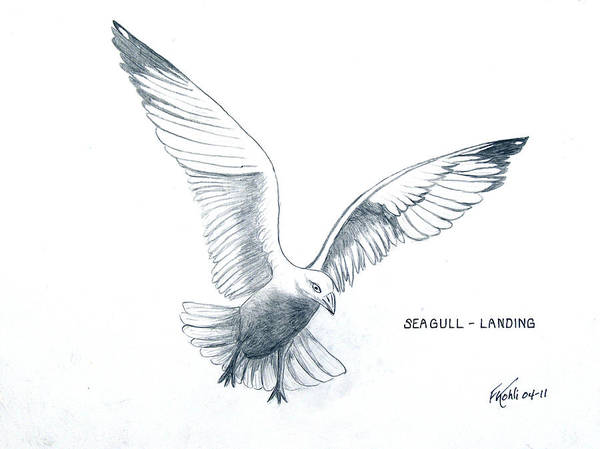 Pencil Drawing Art Print featuring the drawing Seagull - Landing by Frederic Kohli