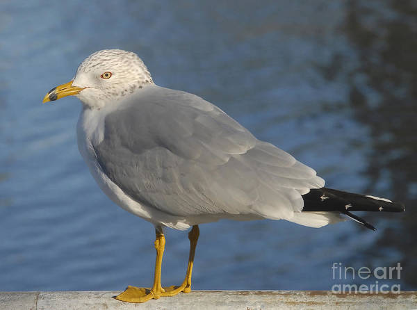 Seagull Art Print featuring the photograph Seagull by David Lee Thompson