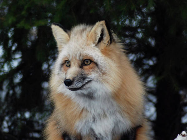 Fox Art Print featuring the photograph Sierra's Profile by Richard Bryce and Family