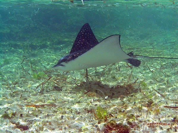 Ray Art Print featuring the photograph Spotted Eagle Ray by Li Newton