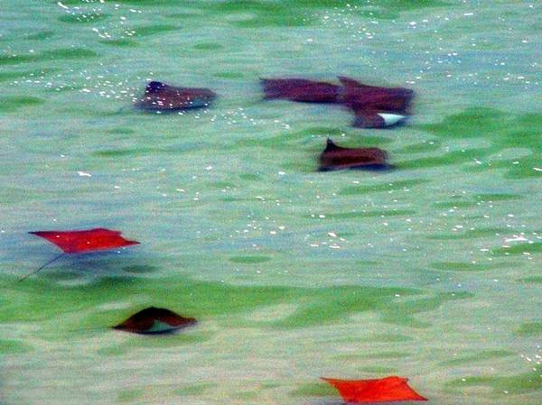 Sting Rays Art Print featuring the digital art Sting Rays by Kenna Westerman