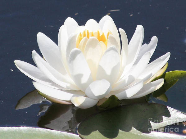 Flower Art Print featuring the photograph Sunlight On Water Lily by Carol Groenen