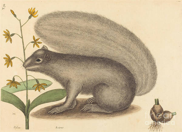 Art Print featuring the drawing The Grey Fox Squirrel (sciurus Cinereus) by Mark Catesby