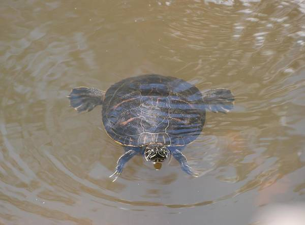Water Art Print featuring the photograph The Swimming Turtle by Rob Hans