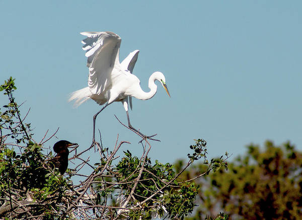Great White Egret Art Print featuring the photograph Tree Top Tip Toe by Norman Johnson