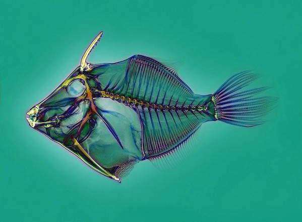 Triggerfish Art Print featuring the photograph Triggerfish Skeleton, X-ray by D. Roberts