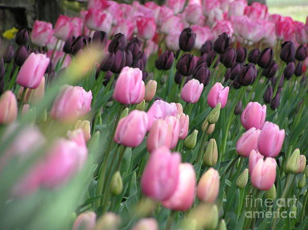 Tulips Art Print featuring the photograph Tulip Dreams by Louise Magno