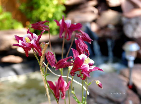Flower Art Print featuring the photograph Waterfall And Columbine I - Pride Of Colorado by Christine S Zipps