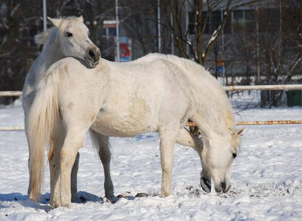 Affection Art Print featuring the photograph White Horses In The Snow by Jaroslaw Grudzinski