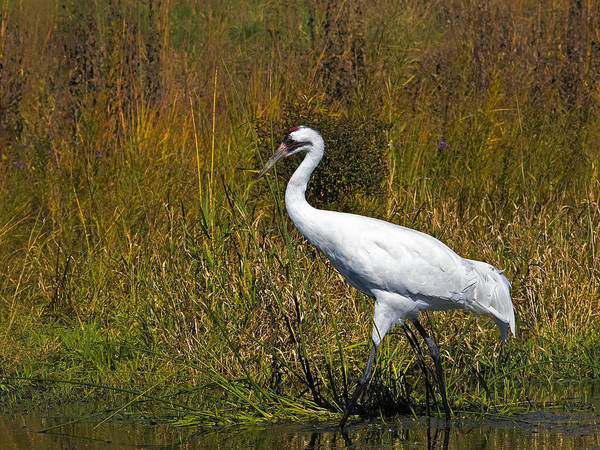 whooping Crane Art Print featuring the photograph Whooping Crane by Al Mueller