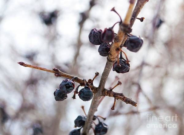 Markham Art Print featuring the photograph Winter Berries by Gary Chapple
