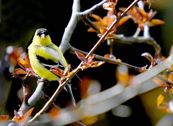 Birds Art Print featuring the photograph Yellow Finch by Pat Carosone