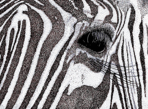 Drawing Art Print featuring the drawing Zebra Portrait by Karl Addison