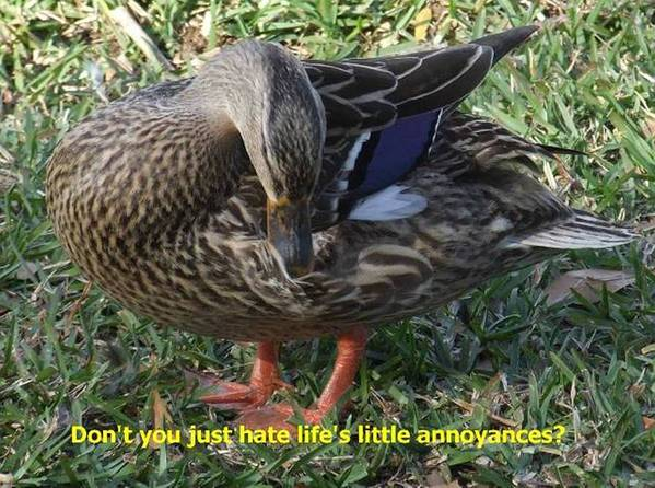 Ducks Art Print featuring the photograph Duck Annoyances by Rana Adamchick