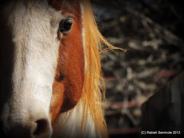 Horse Art Print featuring the photograph Bedahbeen by Rabiah Seminole