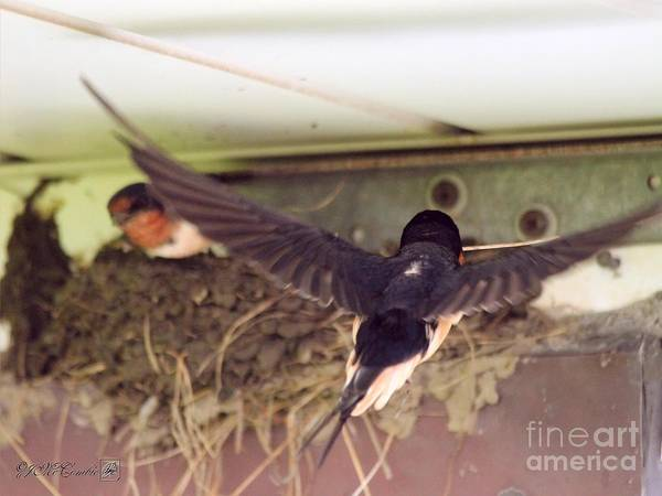 Mccombie Art Print featuring the photograph Barn Swallows Constructing Their Nest by J McCombie