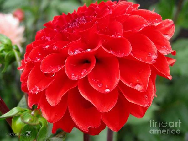 Mccombie Art Print featuring the photograph Dahlia Named Ali Oop by J McCombie