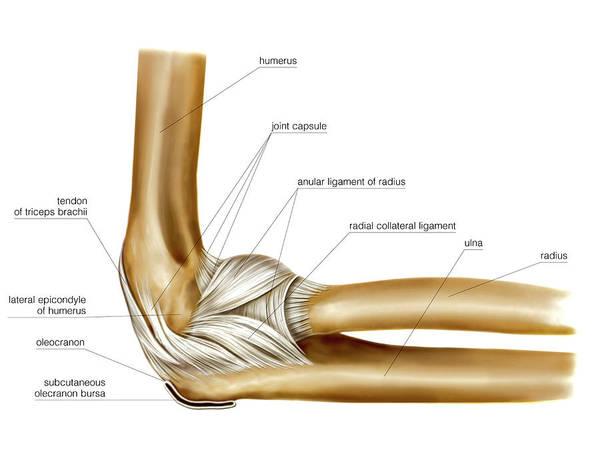 Elbow Joint Art Print by Asklepios Medical Atlas