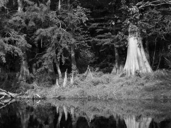 Cypress Tree And Cypress Knees Along River. Art Print featuring the photograph A Look Into. by Amber Lopez