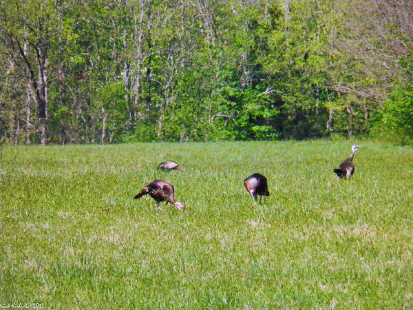 Wild Art Print featuring the photograph A Shot Of Wild Turkey by Nick Kirby