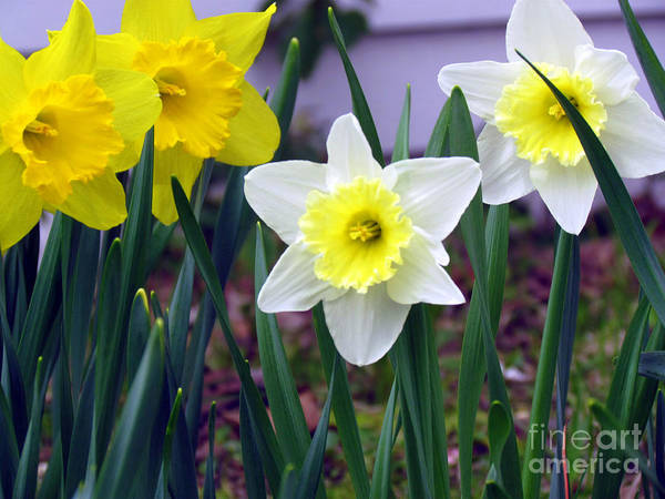 Jonquil Art Print featuring the photograph All In The Family by Elizabeth Dow