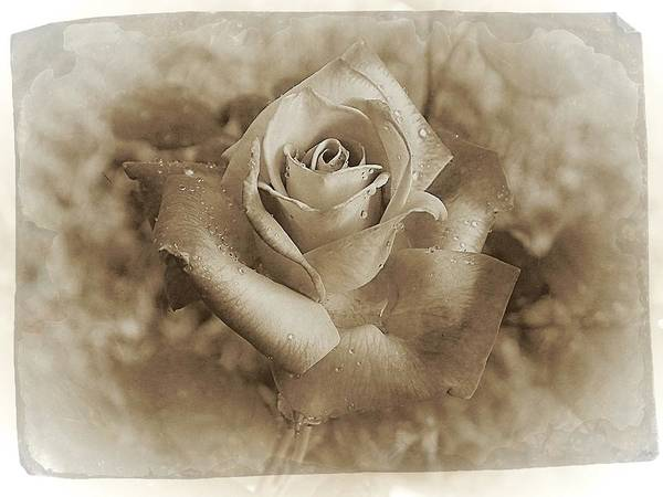 Rose Art Print featuring the photograph Antique Rose by TN Fairey