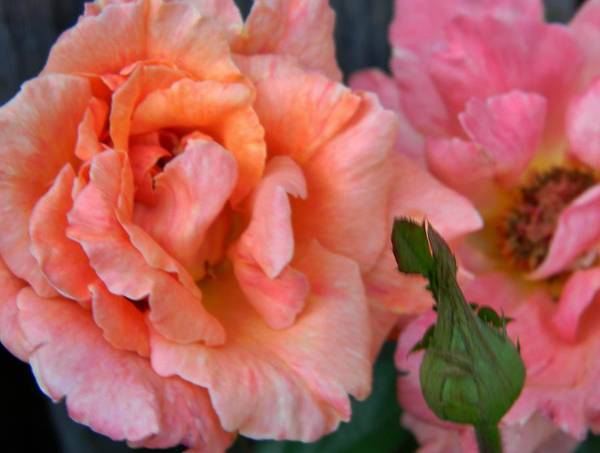 Rose Art Print featuring the photograph Antique Roses by Lori Streich