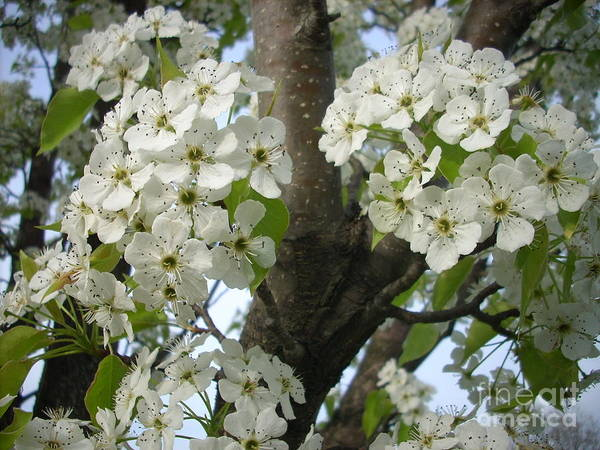 Flowers Art Print featuring the photograph Apple Blossoms by Randi Shenkman