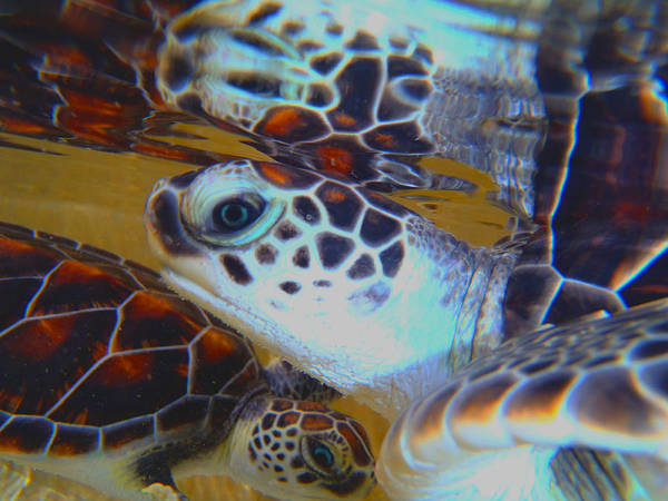 Turtle Art Print featuring the photograph Baby Turtles by Carey Chen