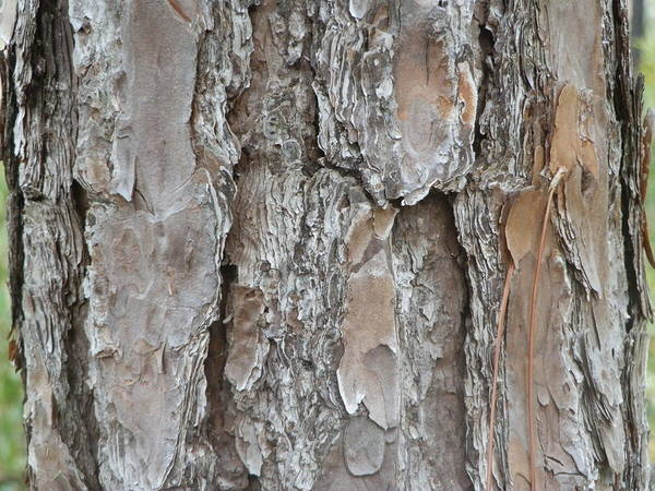 Tree Bark Art Print featuring the painting Bark by Ione Hedges