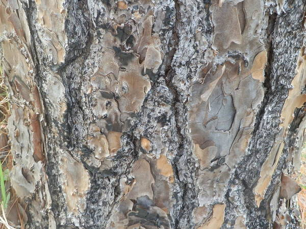Nature Art Print featuring the painting Bark Ix by Ione Hedges
