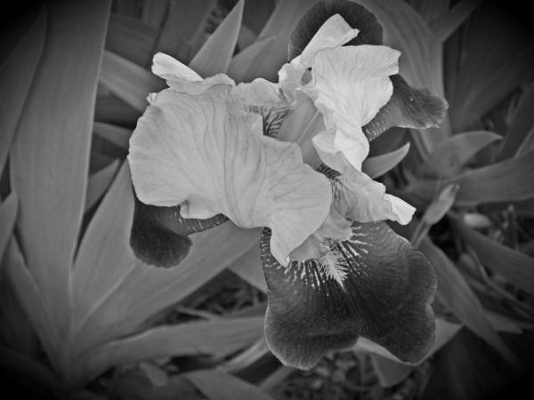 Art Print featuring the photograph Black And White Iris by Regina McLeroy