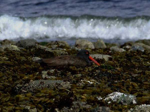 Black Oystercatcher Art Print featuring the photograph Black Oystercatcher by Will LaVigne