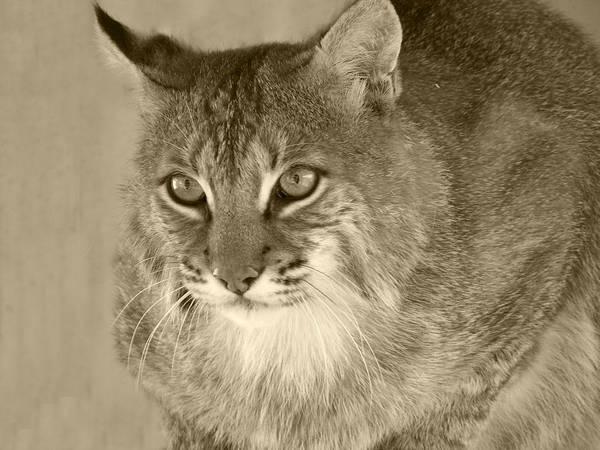 Bobcats Art Print featuring the photograph Blue Eyed Bobcat-sepia by Jennifer King
