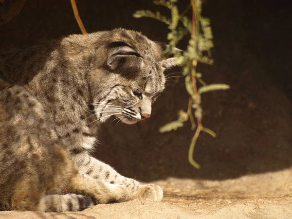 Peterson Nature Photography Art Print featuring the photograph Bobcat by James Peterson