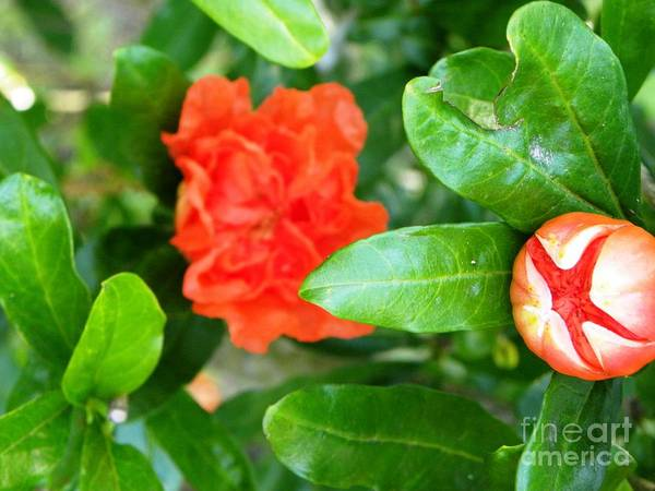 Flower Art Print featuring the photograph Buds And Frills by Tisha Clinkenbeard