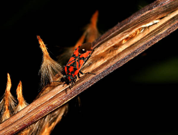 Bug Art Print featuring the photograph Bug In The Night by Ricardo Oliveira