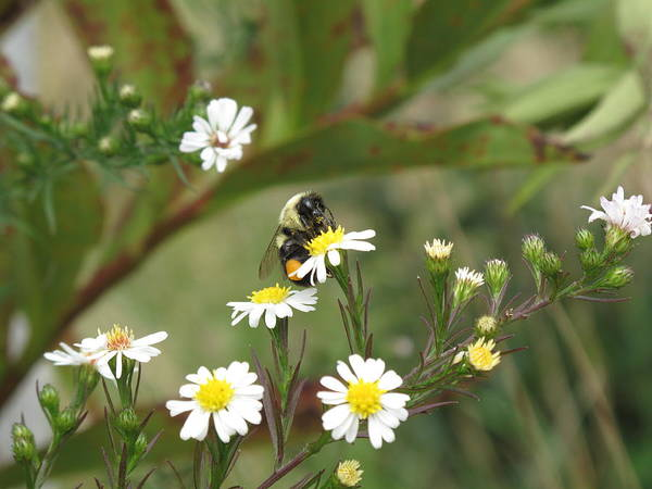 Bee Art Print featuring the photograph Busy Bee by Barbara McDevitt