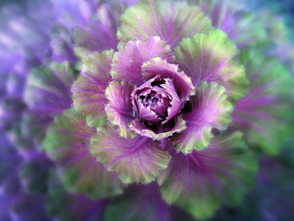 Detail Art Print featuring the photograph Cabbage Flower by Jessica Jenney