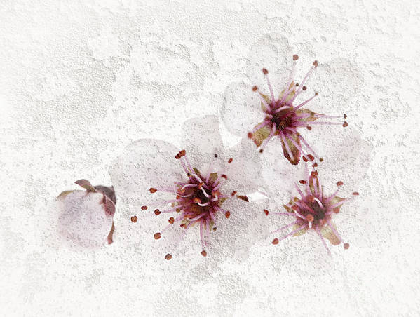 Cherry Art Print featuring the photograph Cherry Blossoms Close Up by Elena Elisseeva