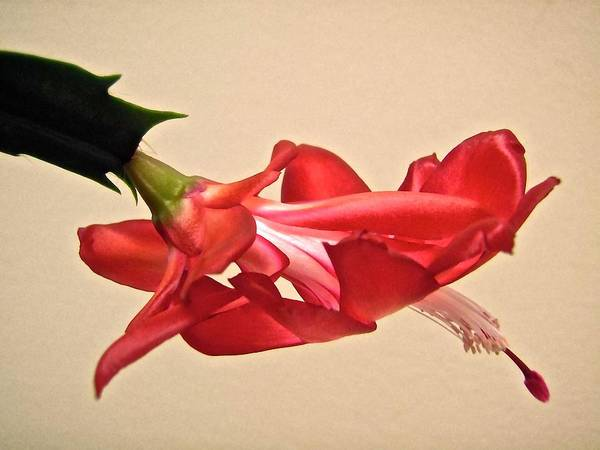 Flower Art Print featuring the photograph Christmas Cactus by Stephanie Moore