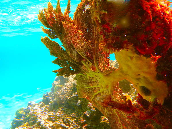Underwater Art Print featuring the photograph Coral Fern by Michael Urbain