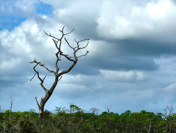 Tree Art Print featuring the photograph Crooked Tree On Crooked Island by Julie Dant