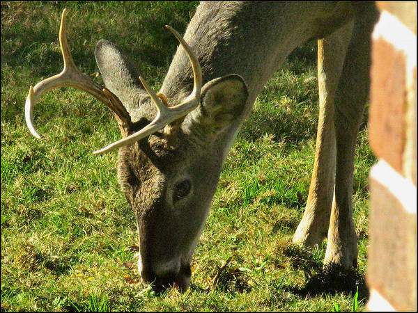 Art Print featuring the photograph Deer 2009 by Glenn Bautista