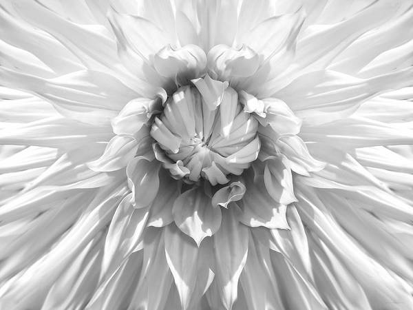 Dahlia Art Print featuring the photograph Dramatic White Dahlia Flower Monochrome by Jennie Marie Schell
